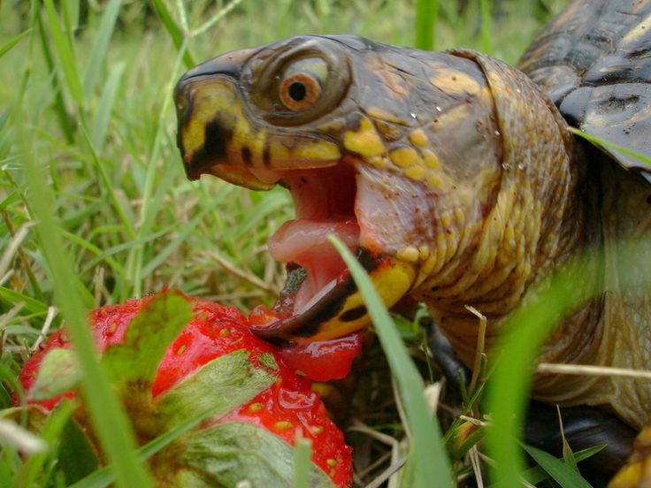Top 25 ideas about turtles eating strawberries on for Oggetti per tartarughe