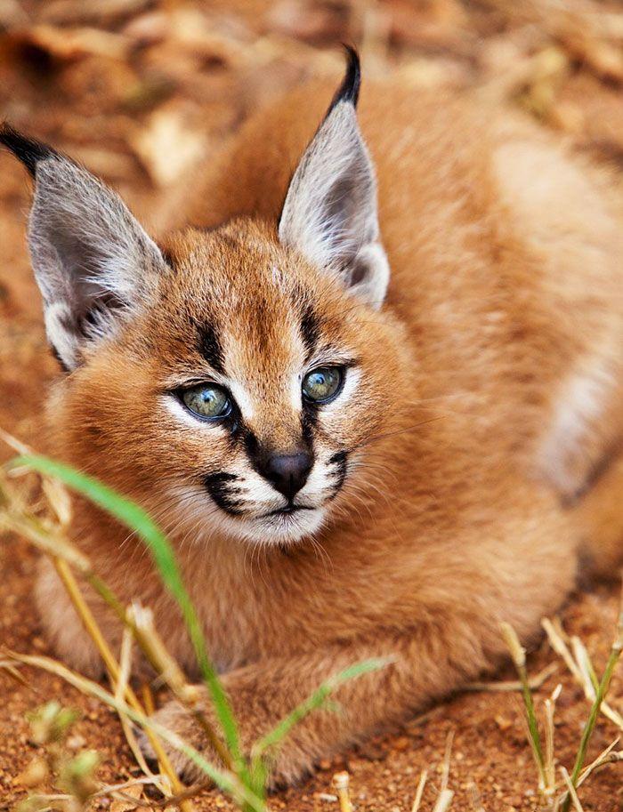 Il Caracal, felino selvatico dal muso adorabile e dal talento di saltatore