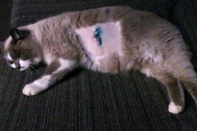 Udine: gatto infilzato con un ferro rovente