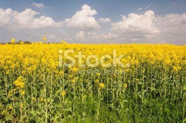 Bloomed Canola Field Royalty Free Stock Photo