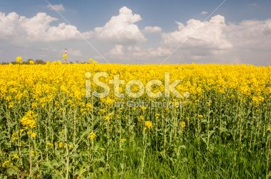 Bloomed Canola Field Royalty Free Stock Photo