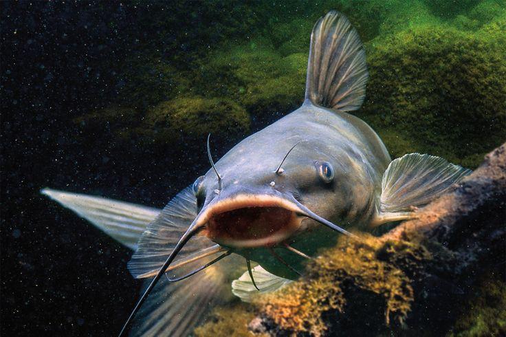 Dalam memancing ikan lele malam hari tentu kita harus menyiapkan resep umpan ikan lele yang tepat dan jitu untuk kegiatan mancing di malam hari, simak selengkapnya disini >>