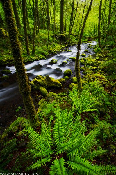 Freshly sprouted sword ferns alongside a lush and verdant stream in Oregon's Columbia River Gorge. w Life by Alex Mody