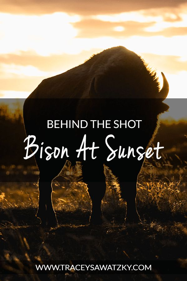 Behind the Shot - Bison at Sunset