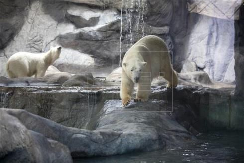 A view of a pair of polar bears, Aurora and Peregrino, that were presented to members of the media on Tuesday at the Sao Paulo Aquarium. The bears wil