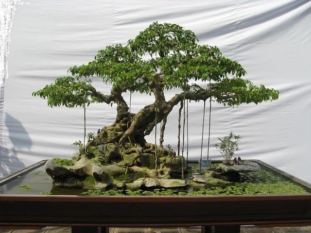Old Ficus benjamina