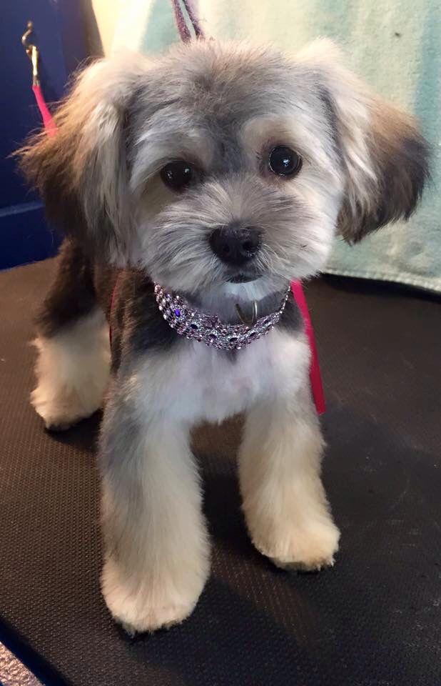 Morkie puppy - AF                                                                                                                                                                                 More
