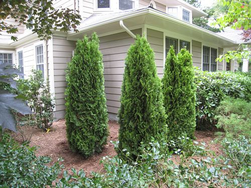 Emerald Green Arborvitae In Front Of House Google Search