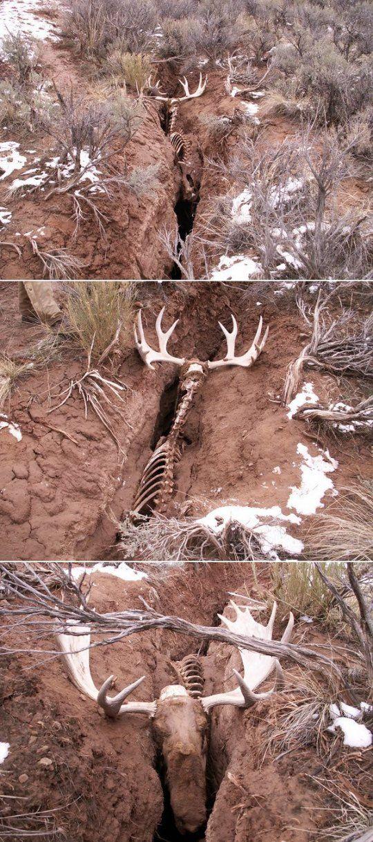bull moose dies in earth crevice