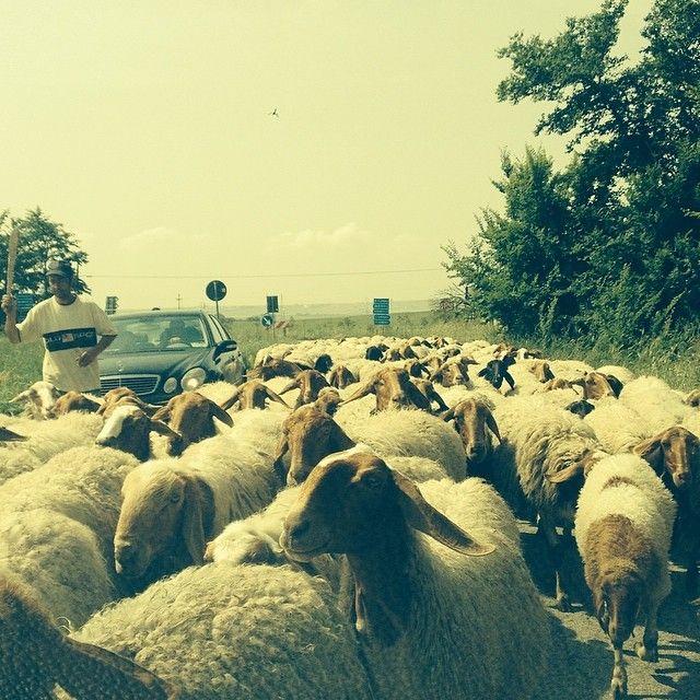 incontri casuali. un sardo non lo stupisci cosi', tanti altri invece si!   #puglia #santeramo #matine #viglione #pecora #gregge #pecore #pastore #sheep #campagna #cantineaperte #wearepuglia #sardegna #maggio #may #incontri #casual