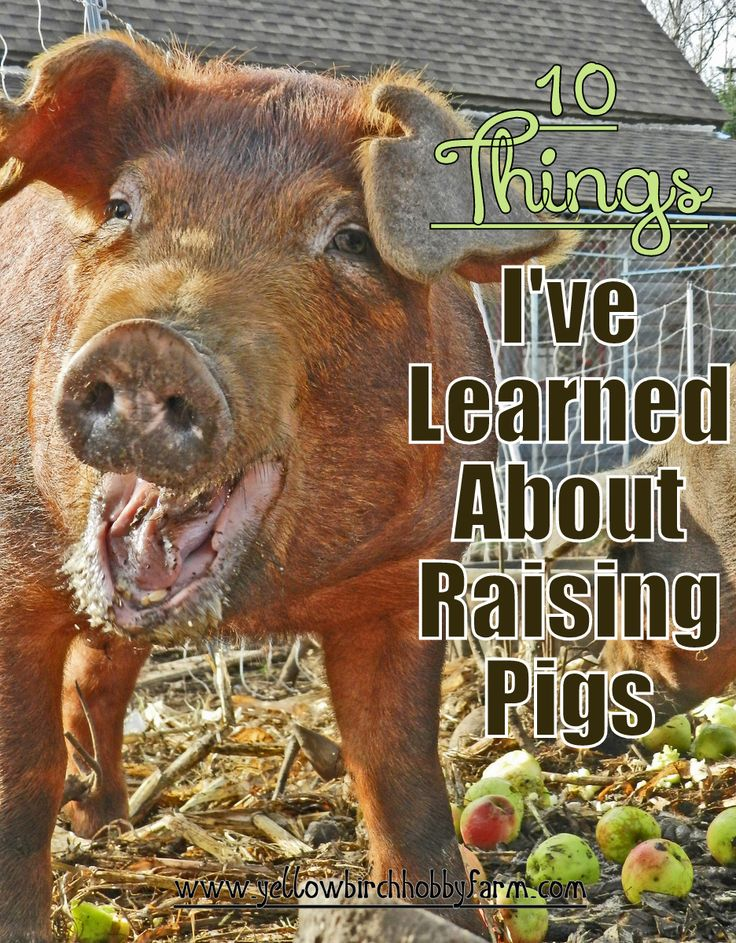 10 Things I've Learned About Raising Pigs- Yellow Birch Hobby Farm