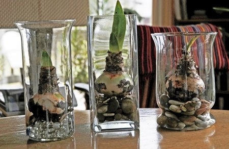 Amaryllis in a glass- great Christmas gifts.