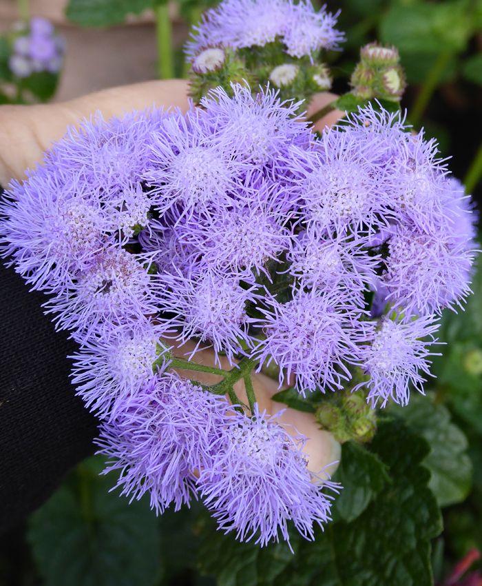Ageratum Houstonianum Blue Horizon Buy Online At Annie S Annuals Butterfly Plants Perennial Plants Lavender Flowers