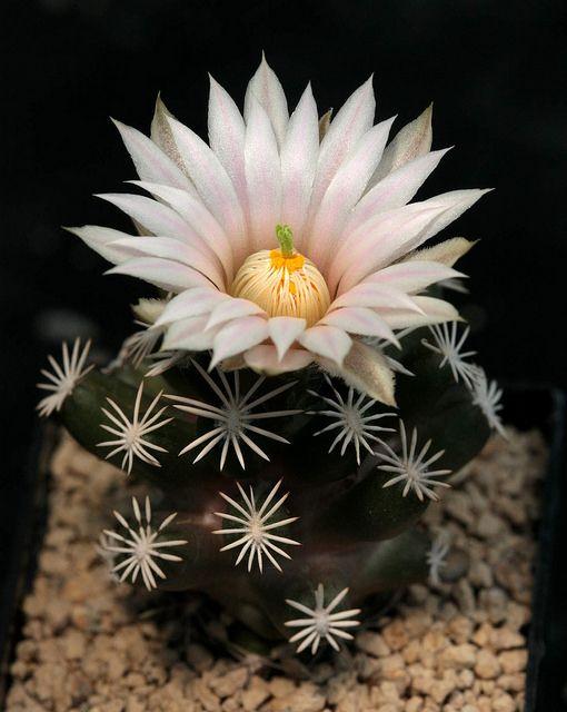 Escobaria abdita Este hermoso cactus es una especie que se acaba de describir en 2011 bajo el nombre de Escobaria abdita (Cactaceae). La especie se encuentra en el estado mexicano de Coahuila, y se diferencia de especies similares y relacionadas sustancialmente por su acuerdo de cresta como de, espinas en forma de dedos cortos-tiza blanca, que son de cuatro capas en la sección transversal, y por bastante pequeño flores blanquecinas con rayas de color rosa de luz en los tépalos. Sus frutos…