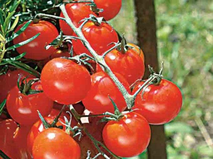 Planter la tomate cerise en pot ou jardinière | Cultiver ...