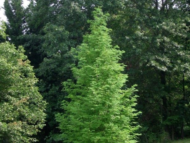 224 best images about trees of interest on pinterest for Fast growing drought tolerant trees