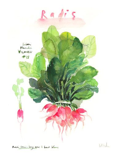 Pink radish print - Watercolor vegetable poster - Kitchen art - Food illustration - 11X14 Botanical home decor - Watercolor painting