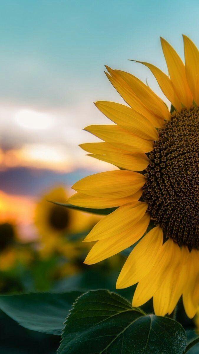 Solsikke Wallpapers Sunflowerwallpaper Sunflowerwallpaper Solsikke Wallpapers Sunf Sunflower Wallpaper Sunflower Iphone Wallpaper Beautiful Nature Wallpaper