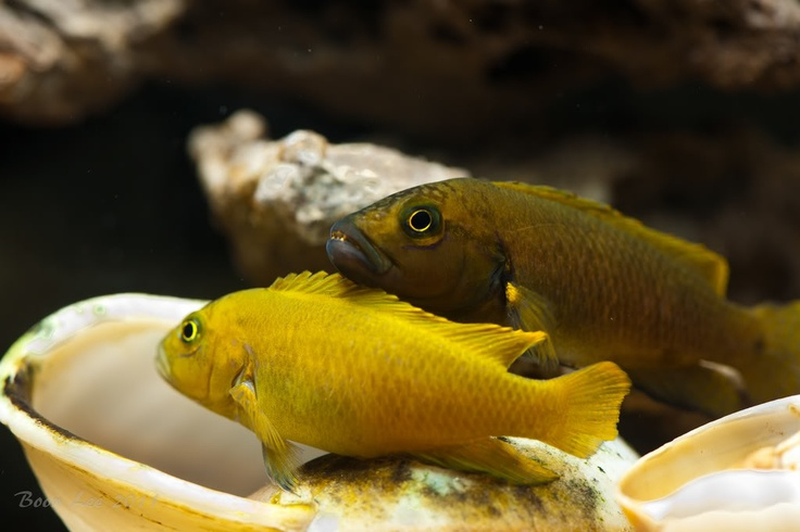 17 best images about cichlids from lake tanganyika on for African freshwater fish