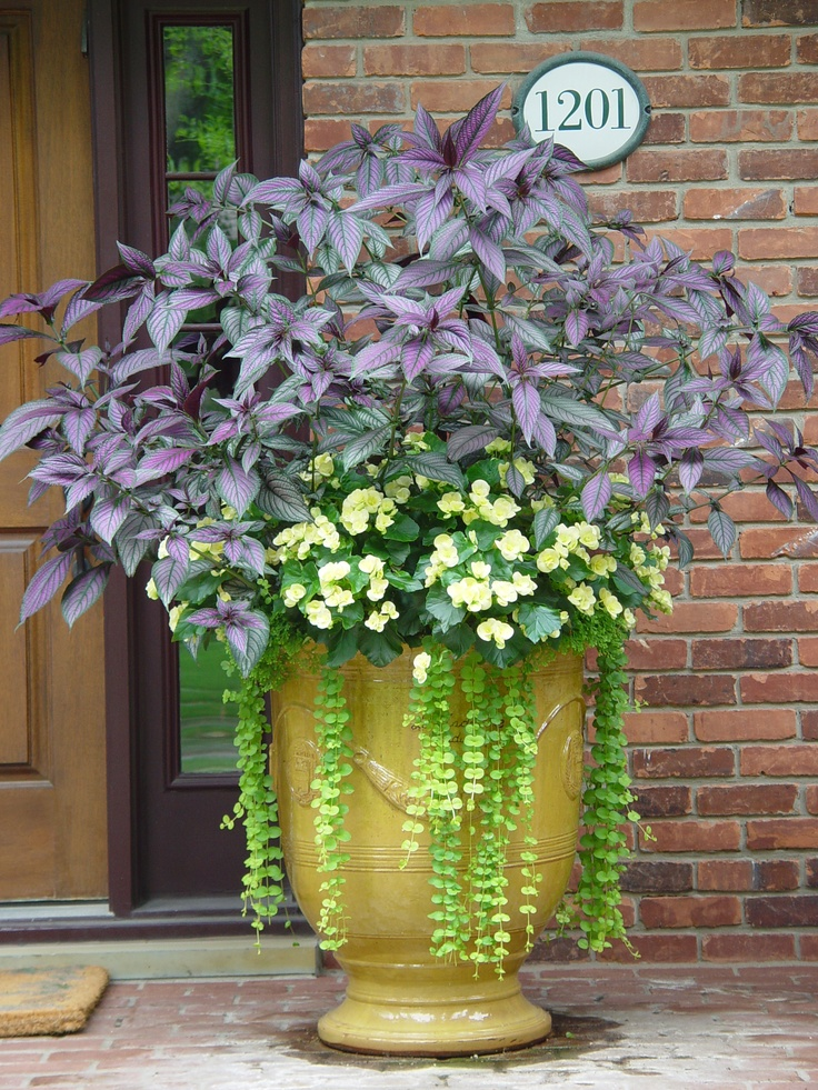 Persian ShieldGardens Ideas, Colors Combos, Container Gardens, Creeping Jenny, Persian Shields, Balconies Gardens, Plants, Container Gardening, Front Porches