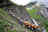 Adelboden, Switzerland  Alpaufzug Engstligenalp: Annual spring procession of cows to the alpine meadows.
