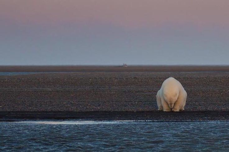 Interview: Photographer Travels to Alaska and Discovers Polar Bears Living With No Snow