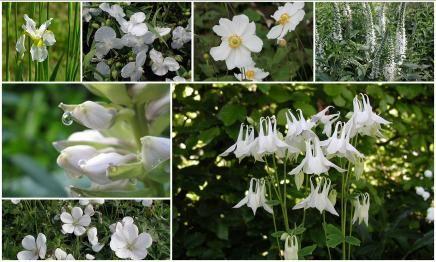 anemoon, iris, ereprijs, eendagsbloem,akelei. Hosta sieboldiana 'Elegans', ooievaarsbek
