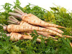Neben B-Vitaminen, Eiweiß, Kalzium und Eisen enthalten die gelblich-weißen bis hellbraunen Wurzeln vor allem eine dicke Portion Vitamin C: Mit einer Portion Petersilienwurzel (200 g) decken wir unseren täglichen Bedarf schon zu über 80 %! Ihr intensiv würziges Aroma stammt übrigens von ätherischen Ölen, die das Gemüse – im Gegensatz zu manch anderem Wintergemüse – besonders gut bekömmlich machen und unter anderem auch die Funktion der Nieren unterstützen.