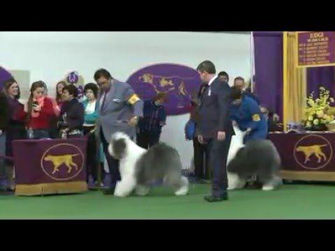 Old English Sheepdog Dog Show 2016 WKC Westminster Kennel Club