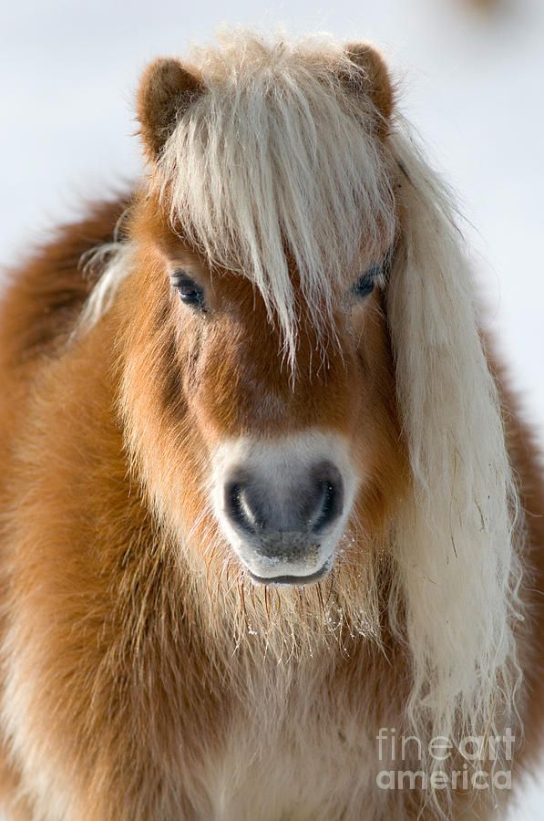 Shetland Pony. My grandfather raised Shetlands hence I got to enjoy a few growing up.