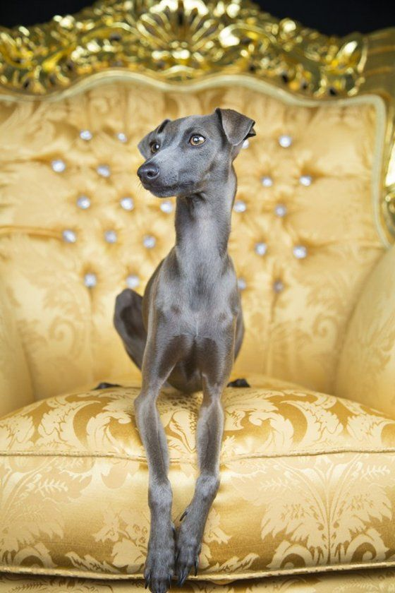 gold italian greyhound - something about these dogs make them so awkward yet so adorable at the same time!!