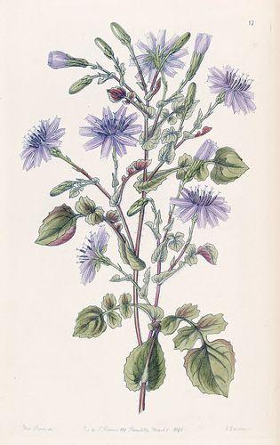 Cephalorrhynchus macrorhizus [as Mulgedium macrorhizum]. Edwards's Botanical Register, vol.32 (1846) [Sarah Ann Drake]