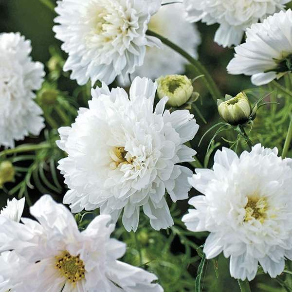 best annual flowers ideas on   perennial flowering, Natural flower