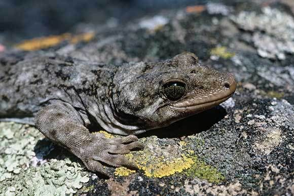 Duvaucel's gecko: New Zealand's largest lizard, and one of the world's largest geckos.