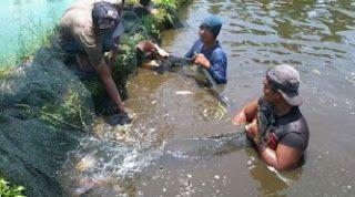 cara budidaya ikan gurame di kolam tembok, membuat pakan ikan gurame kecil, Budidaya ikan gurami Kolam Tanah Supaya cepat besar,