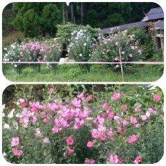 木槿の花です真っ盛りでとてもきれいでしたのでシャッターきりました  #熊本県#山都町#島木 tags[熊本県]