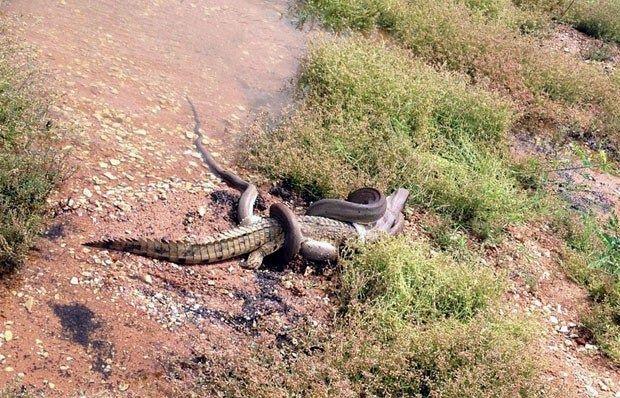 Duelo de Titãs: Píton vence batalha de 5 horas e devora crocodilo na Austrália