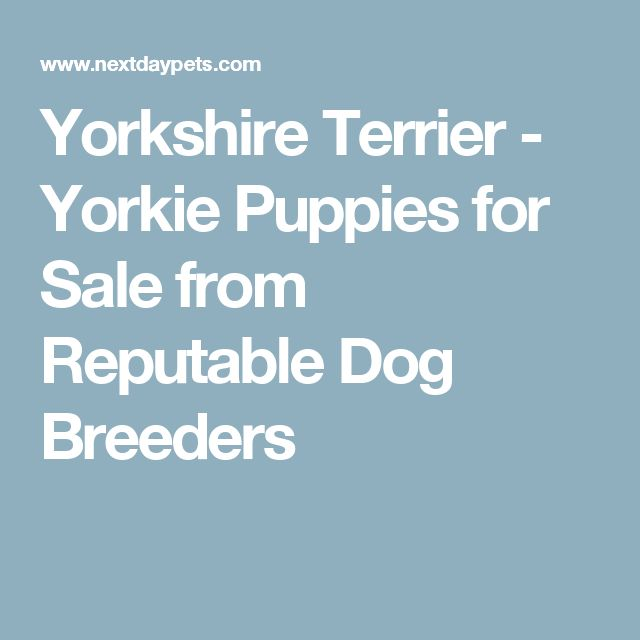 Yorkshire Terrier - Yorkie Puppies for Sale from Reputable Dog Breeders