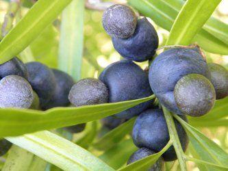 PLUM PINE (ILLAWARRA PLUM) Podocarpus elatus