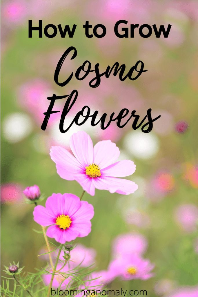 How To Grow Cosmo Flowers Blooming Anomaly In 2020 Cosmos Flowers Cosmos Flowers Garden Cosmos Plant