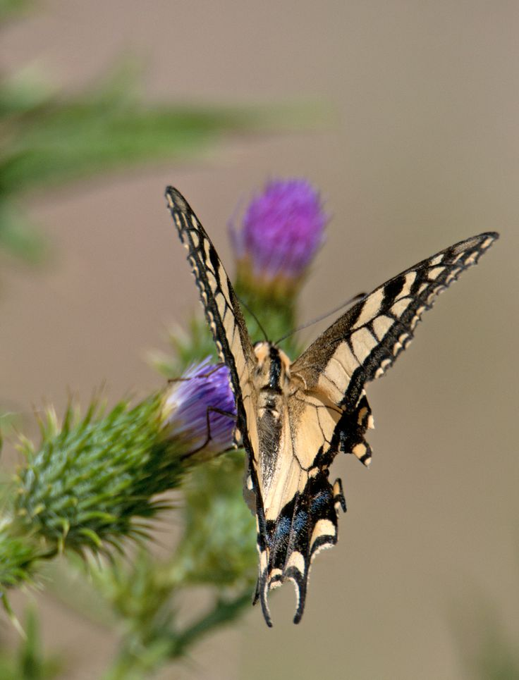 #guidofrilli - Macaone sardo - 18/08/2015 - Nikon D300 + Tamron 160/300 mm - f5.3 a 600 mm (900mm nel 35mm) ISO-200 - 1/1600sec. - Papilio machaon Linnaeus, 1758