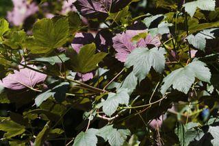 """61- Acer pseudoplatanus atropurpureum.- § JARDIN LE NÔTRE: ... épicéas, houx, chênes verts, pyracanthas, lauriers-tins, cyprès et buis en boule pour masquer les murs et, près de 6 grands portiques en treillage d'osier et de châtaignier, sont cités: chèvrefeuille """"romain"""", lilas blanc et rouge, seringas, giroflées doubles et rosiers de Gueldre (viornes). -"""