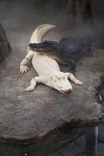 Albino Alligator und normalfarbener