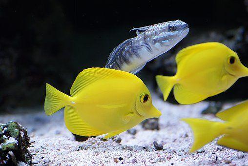 Τροπικά Ψάρια, Σε Κίτρινο Tangs