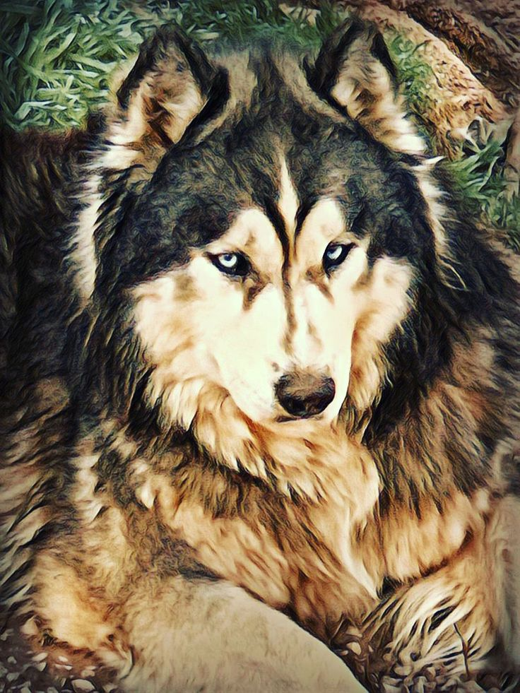 Majestic bloo with images siberian husky breeders