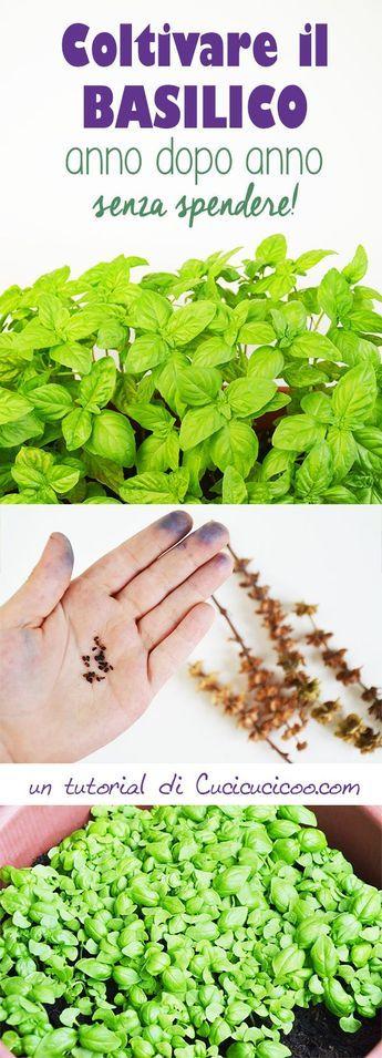 Il basilico è la pianta aromatica più amata dagli italiani ed è molto più profumato quando si mangia fresco, quindi meglio avere la pianta a disposizione. Impara come coltivare basilico anno dopo anno dai semi raccolti! È semplice e costo zero!