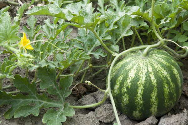 Ideas For Growing Personal Watermelon With Little Space Watermelon Plant How To Grow Watermelon Vegetable Garden Tips