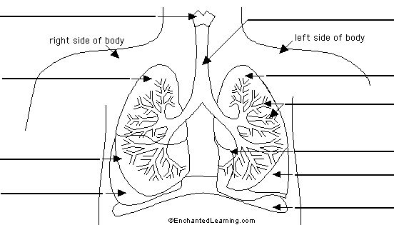 lungs to label