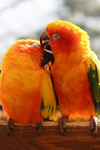 True parrots (They love each other) by Teruhide Tomori, via Flickr: Orange, Kiss, Animal Pictures, Parrots, Sun Conures, Colors Birds, Macaw, Tropical Birds, Feathers Friends