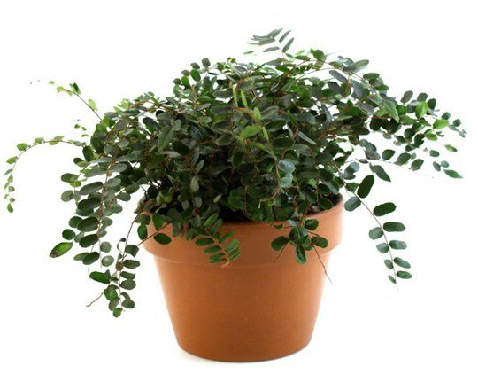 Keeping your pets safe 10 non toxic house plants pets for Non toxic ferns